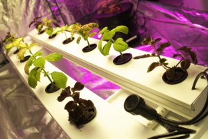 hydroponics, basil, grow light