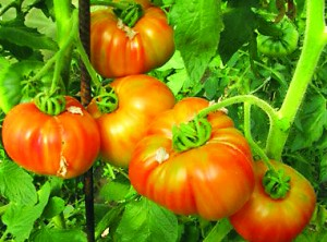 Striped-German-Tomato