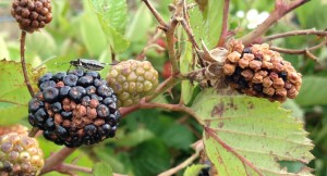 Stink-Bugs-blackberry-damage